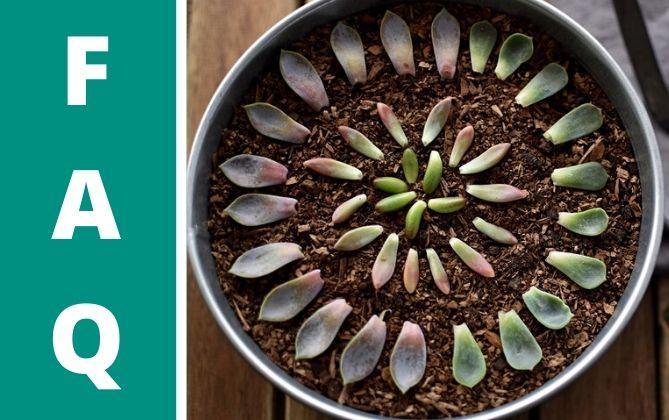 Man kann die Blätter von Sukkulenten auch draußen lassen.