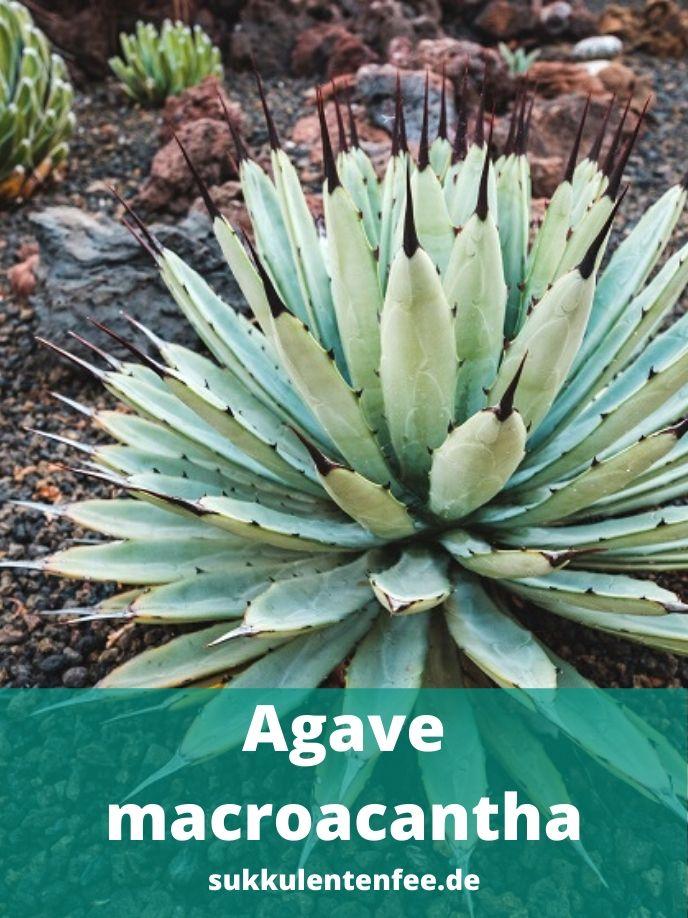 Alle Informationen zur Agave Macroacantha.