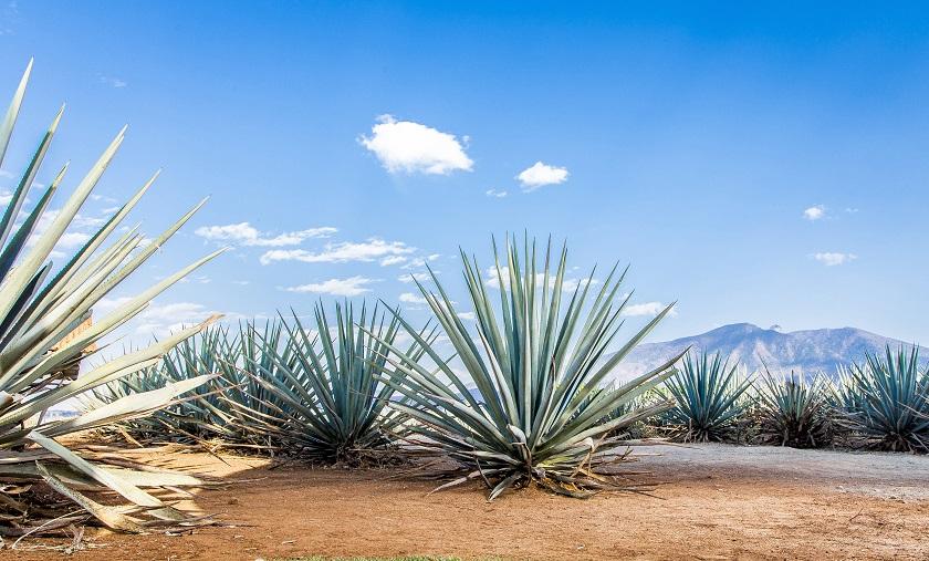 Agaven wachsen in der Wüste von Mexiko und in der Karibik.