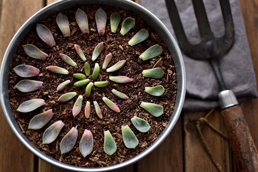 Man kann die Sukkulente retten indem man aus den Blättern neue Pflanzen züchtet.