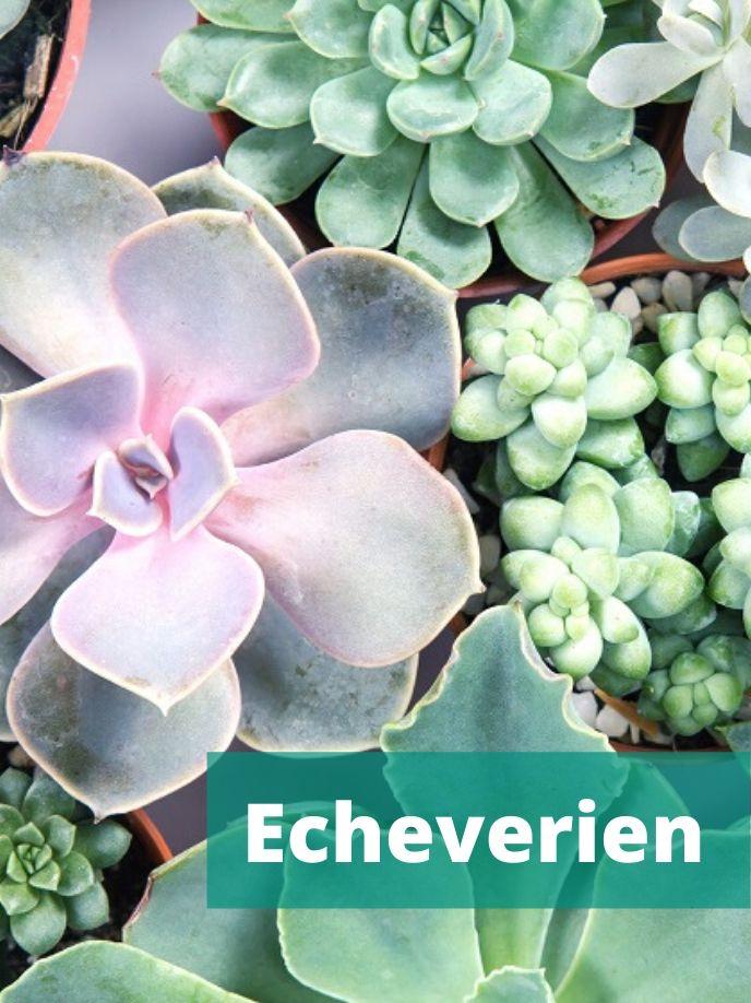 Echeverien sind beliebte Sukkulenten.