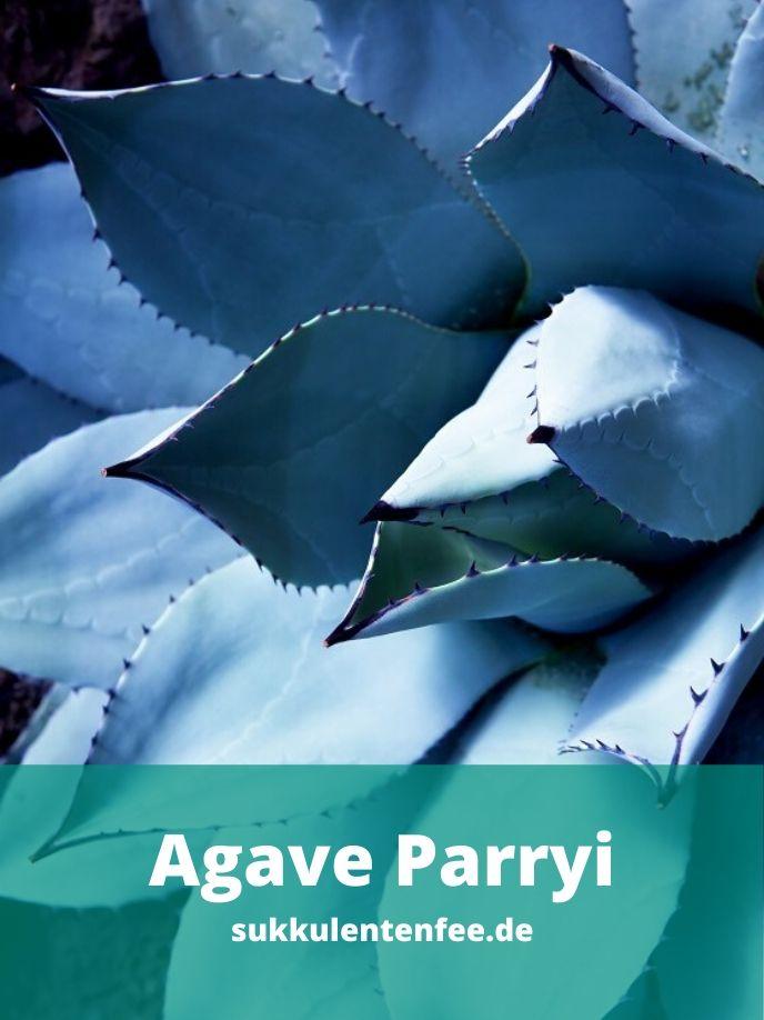 Die Agave Parryi ist eine wunderschöne Sukkulente.
