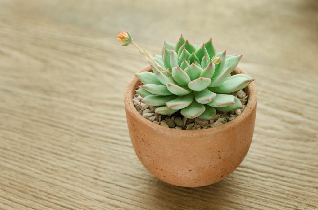 Die Fettblattrosette hat schöne kleine Blüten.