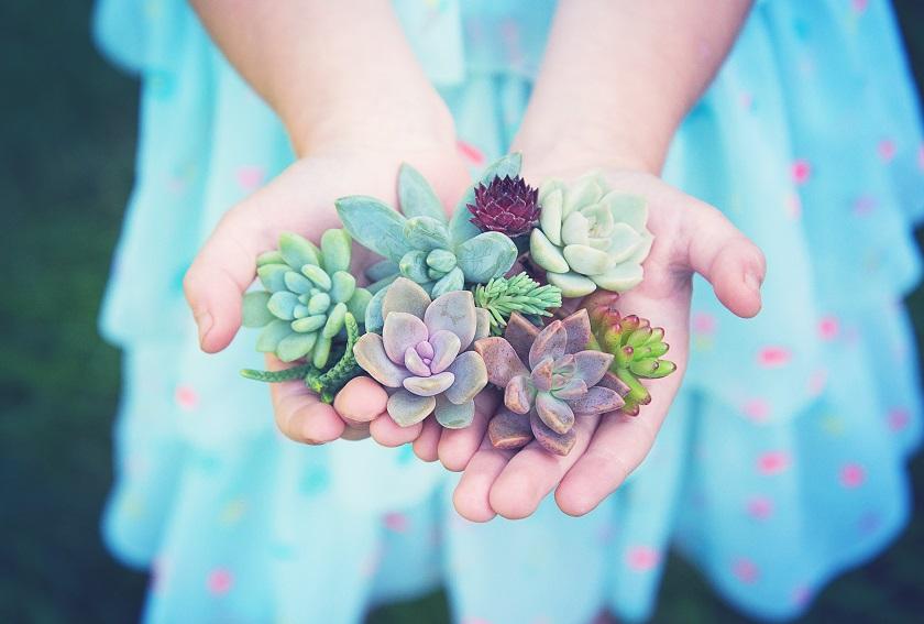 Viele Sukkulenten Stecklinge in den Händen.