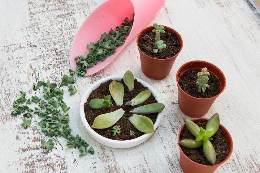 Echeverien können über ihre Blätter vermehrt werden.