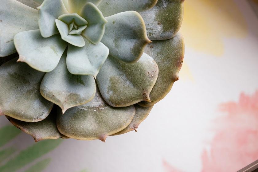 Die unteren Blätter bei erfrorenen Sukkulenten sind matschig.