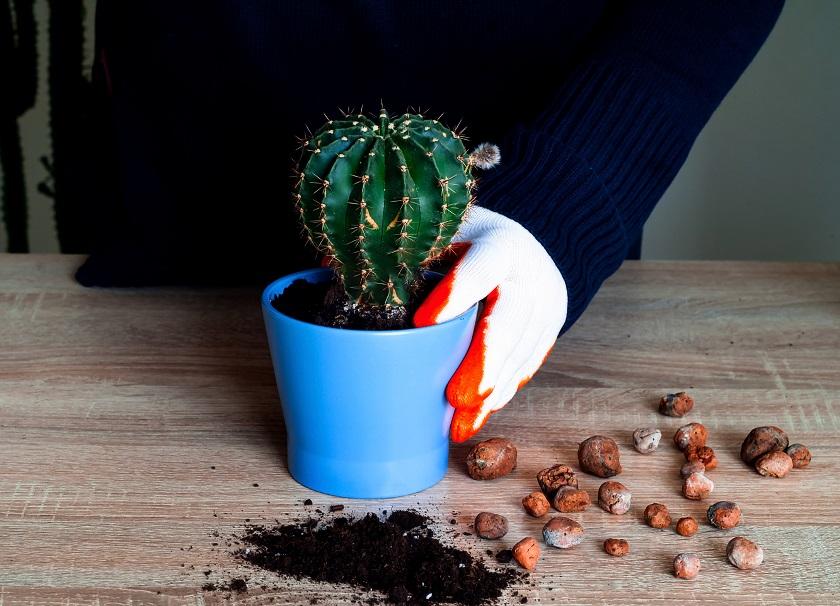 Kaktus vor dem Überwintern umtopfen.