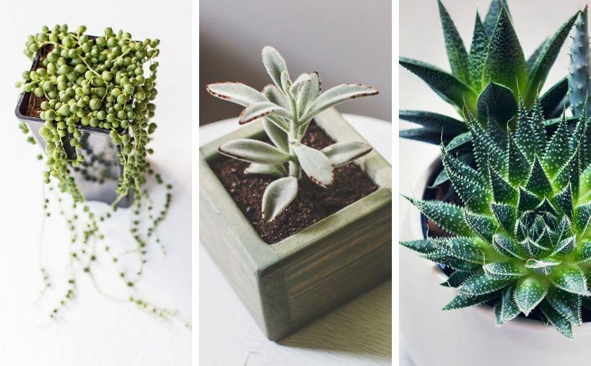 Die Sukkulenten Aloe Vera, Erbsenpflanze und Katzenohr sind sehr leicht zu vermehren.