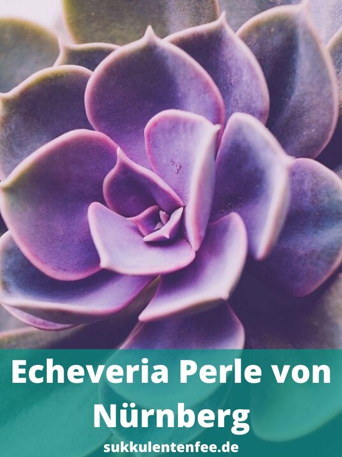 Die Echeveria Perle von Nürnberg hat lila Blätter und ist leicht zu pflegen.