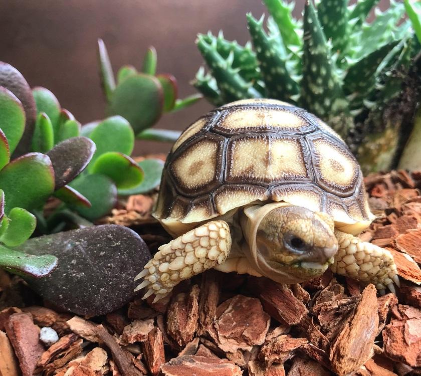 Schildkröten fressen gerne Sukkulenten.