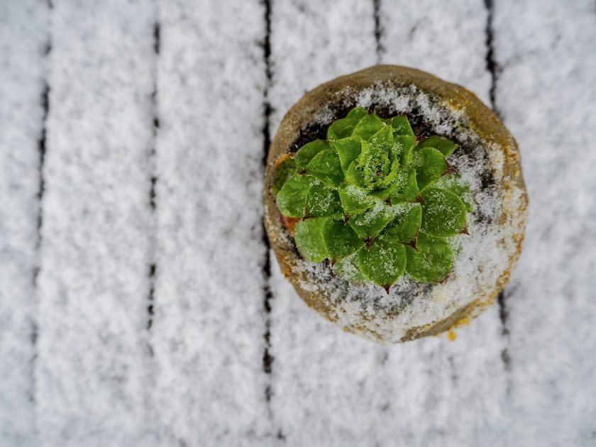 Eine Sempervivum im Schnee.