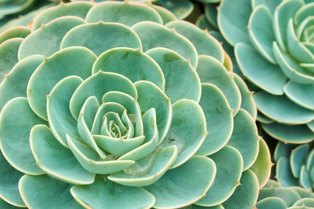 Wenn man Echeverien gießt, soll sich kein Wasser in den Blättern sammelt.