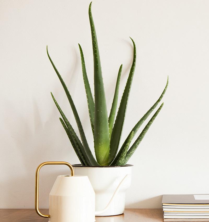 Heilkräfte sind typisch für die Aloe Vera.