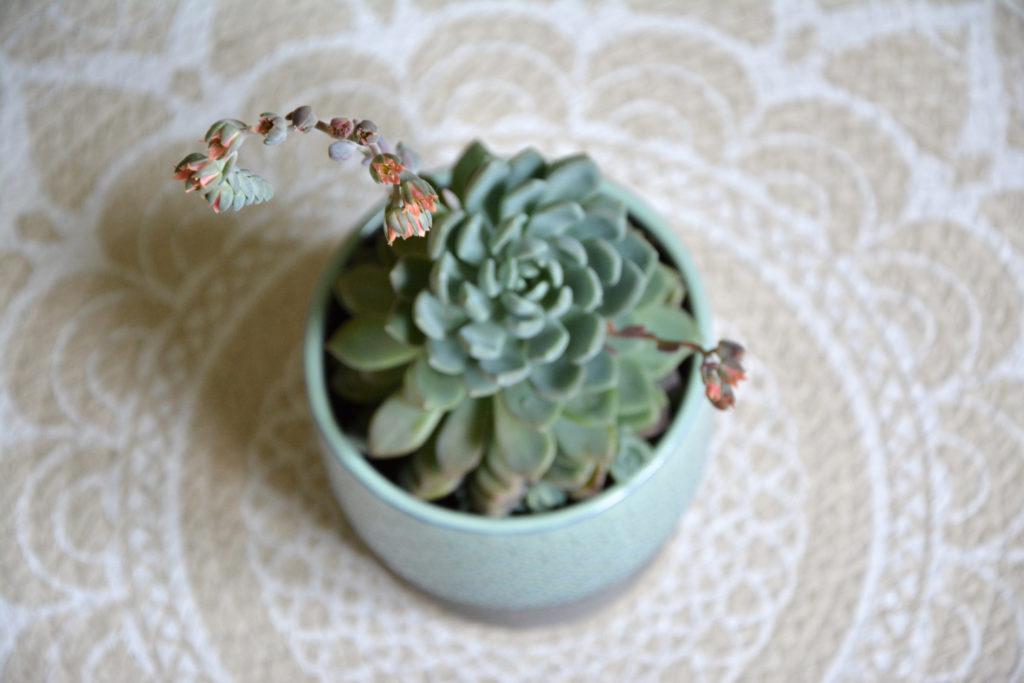 Eine Echeveria Sukkulente mit Blüte.