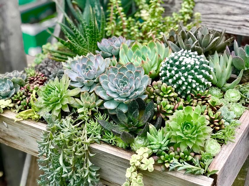 Wenn Sukkulenten eng gepflanzt werden, wachsen sie langsamer.