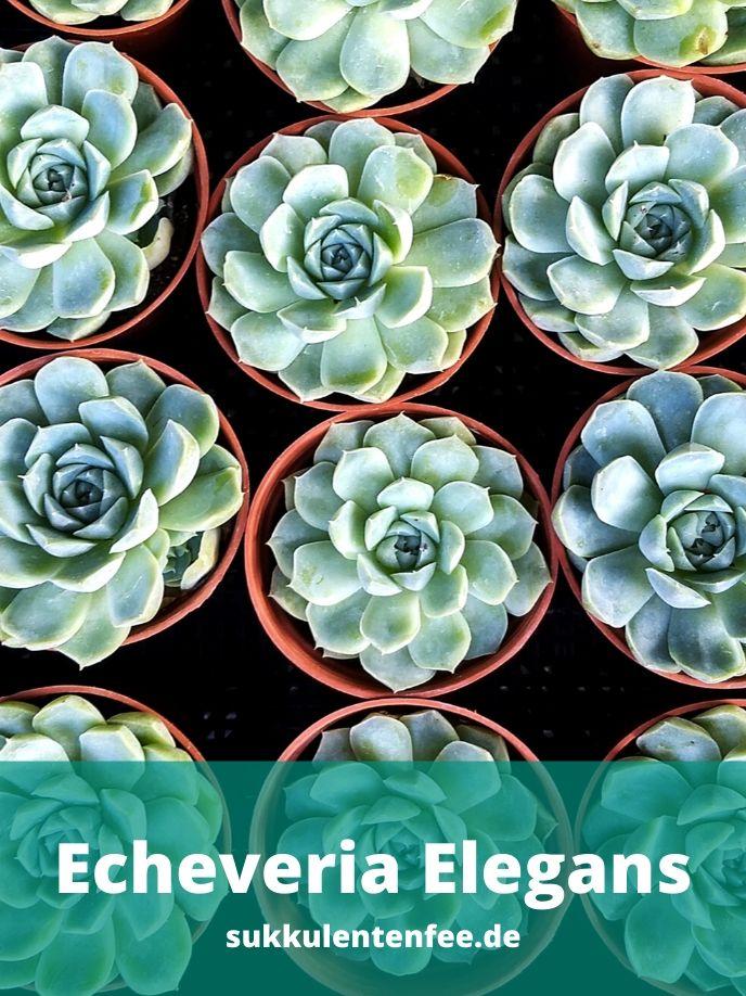 Die Echeveria Elegans ist eine schöne Sukkulente.