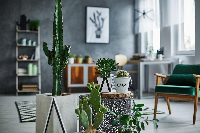 Ein Feigenkatus ist die perfekte Deko für jede Wohnung.