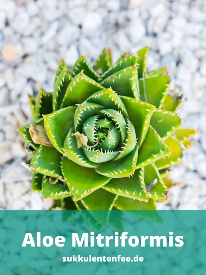 Die Aloe Mitriformis ist eine seltene Sukkulente.
