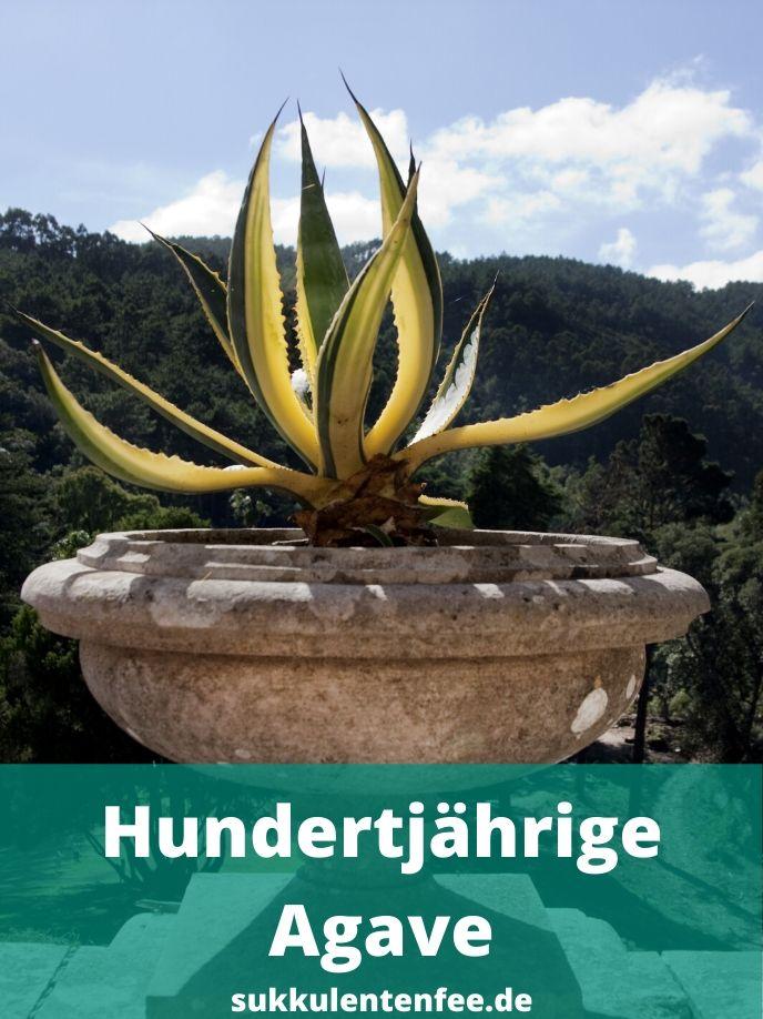 Die hundertjährige Agave stammt aus Mexiko und ist sehr bekannt.