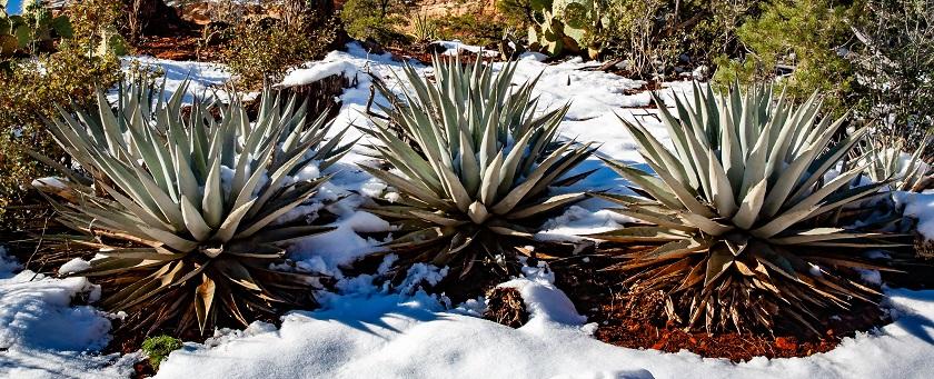 Agaven können im Schnee überleben.