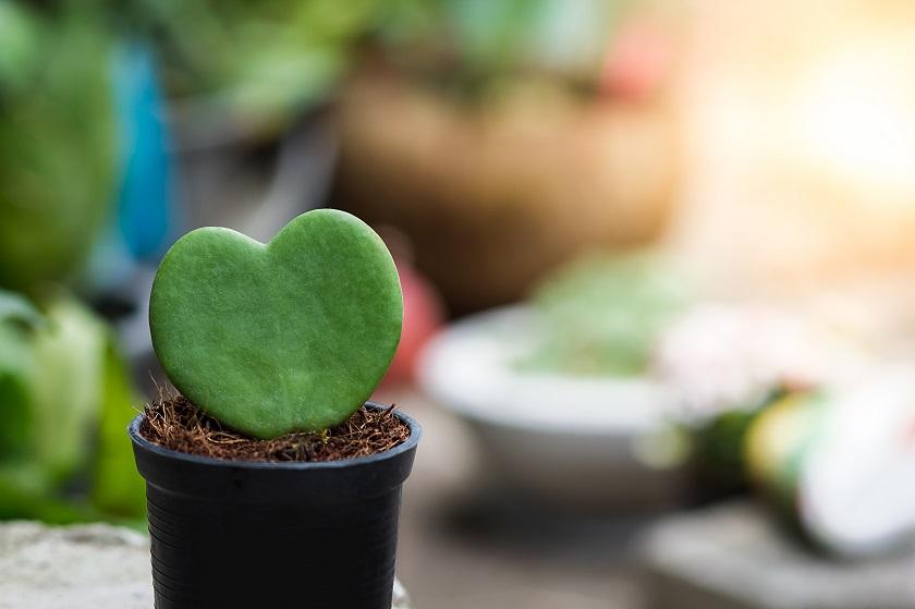 Kaktus in Form eines Herz.