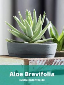 Die Aloe Brevifolia ist eine schöne Sukkulente.