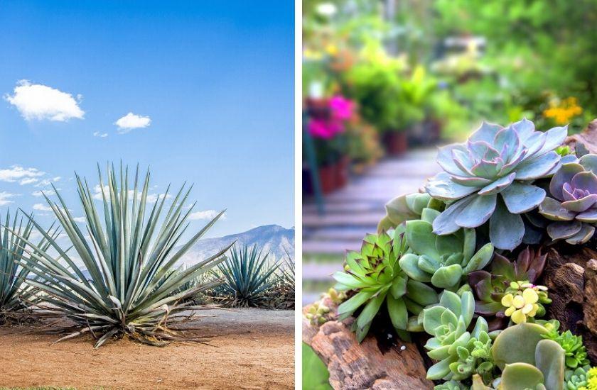 Sukkulenten wachsen anders in der Wüste Mexikos und in Deutschland.
