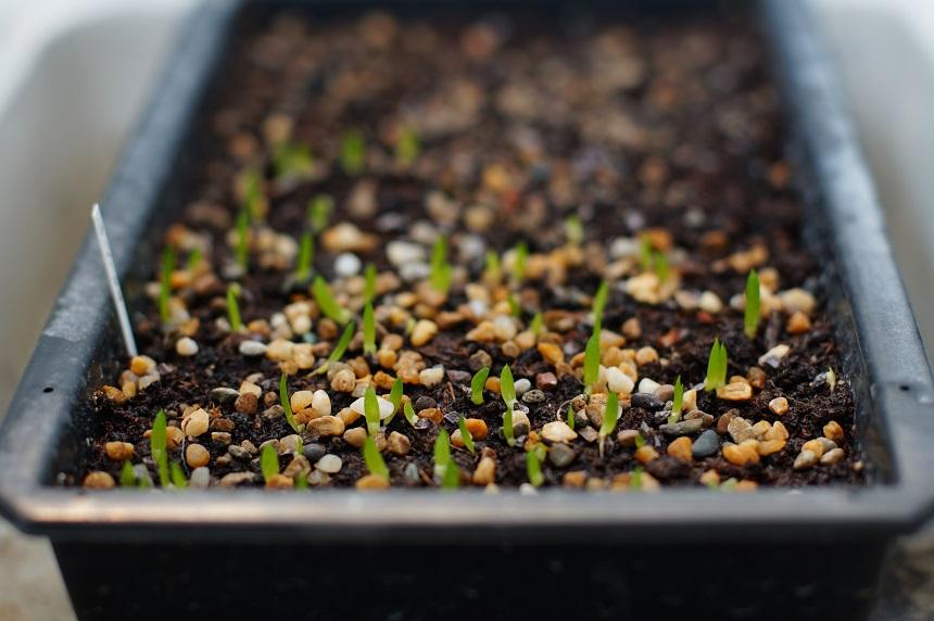 Wenn man Sukkulenten aus Samen zieht, sieht man irgendwann erste Sprösslinge.