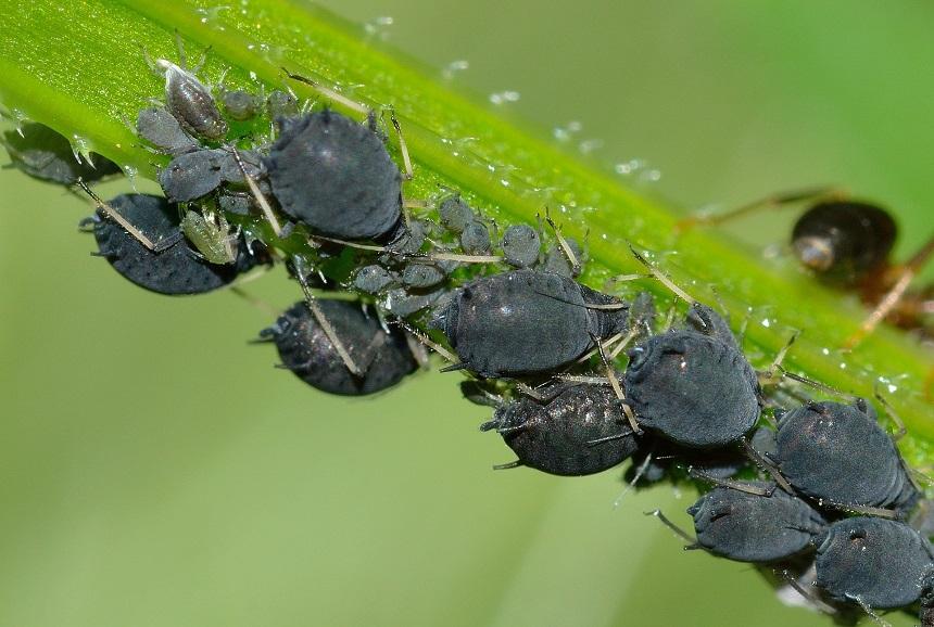 Blattläuse an Sukkulenten sind ärgerliche Schädlinge.