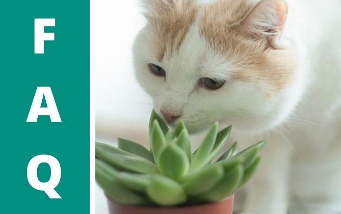 Katzen attackieren gerne Sukkulenten.