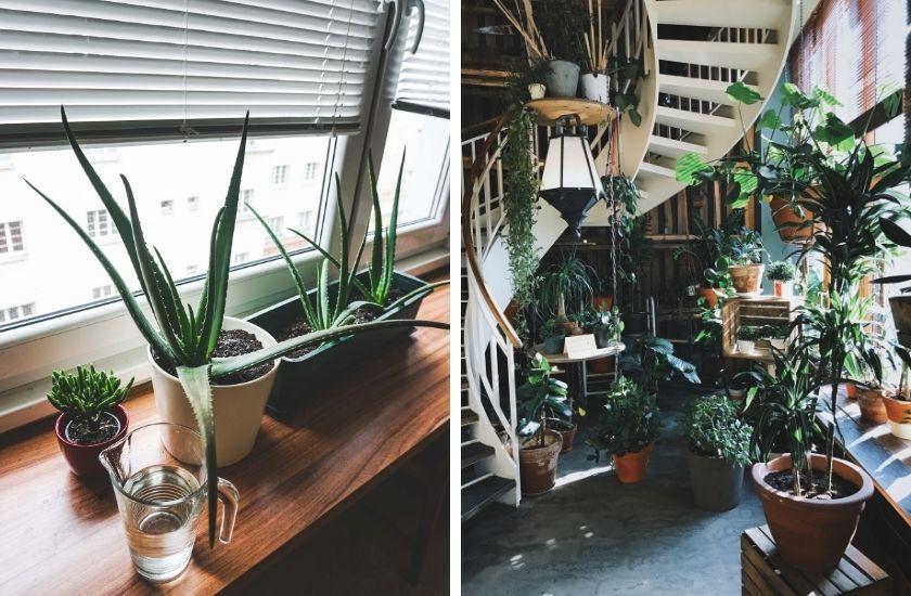 Aloe Vera brauchen einen hellen Standort.