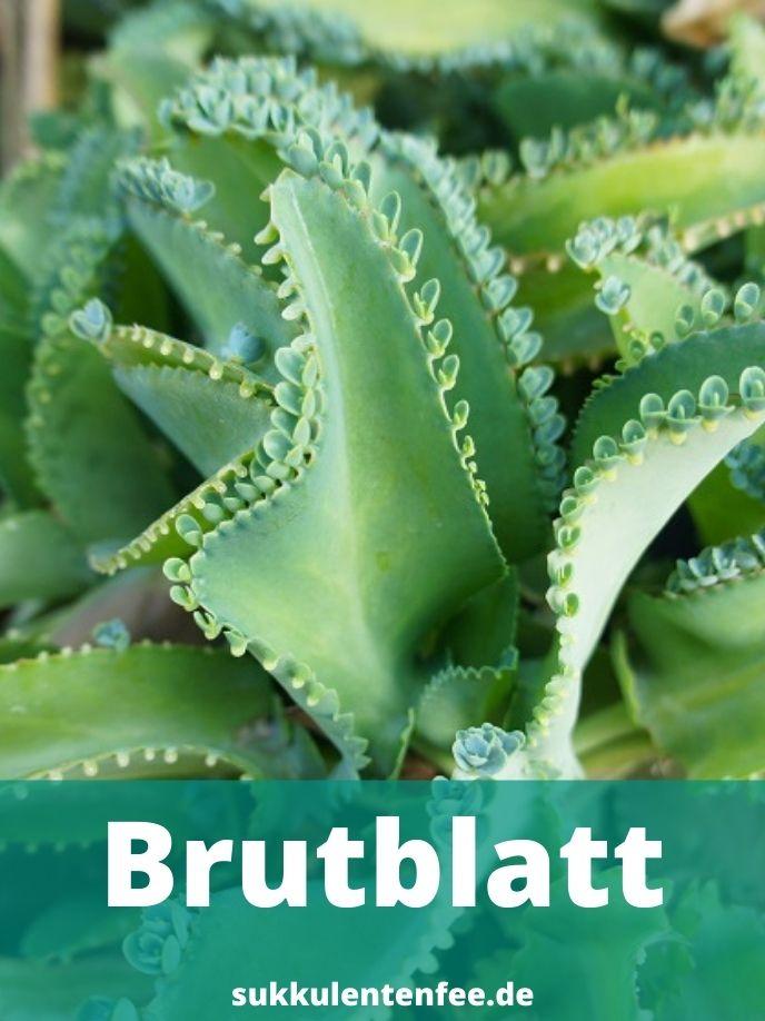 Das Brutblatt ist eine Sukkulente.