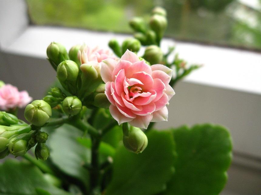 Rosa Blüte des Flammenden Käthchens.