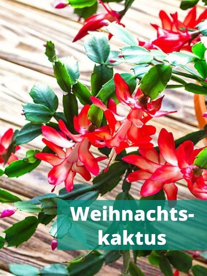 Weihnachtskaktus mit Blüten