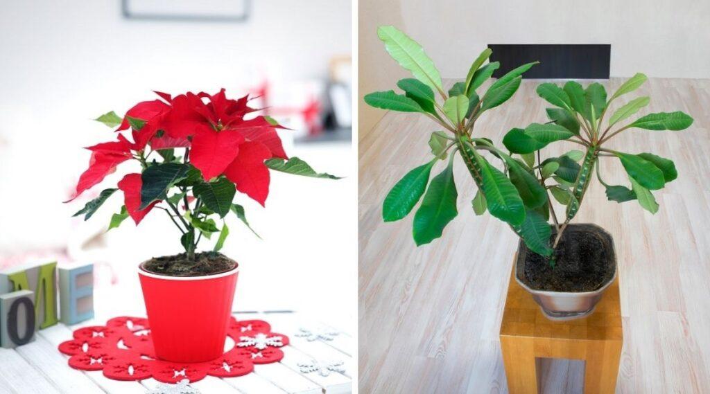 Weihnachtsstern und Spuckpalme sind Zimmerpflanzen.
