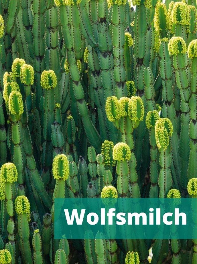 Wolfsmilch ist eine Familie der Sukkulenten.
