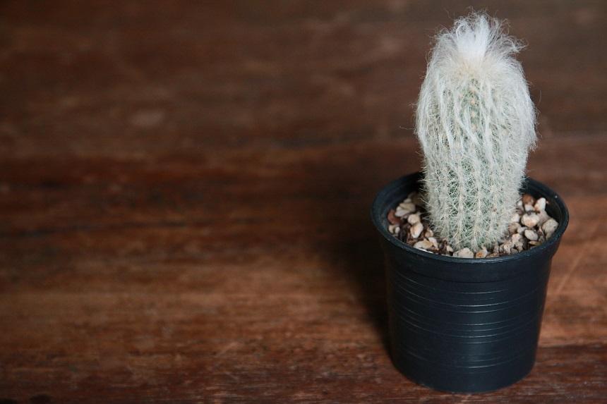 Der Greissenhaupt Kaktus sieht aus wie ein alter Mann.
