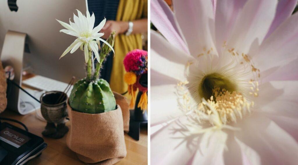 Echinopsis sind Kakteen mit schöner Blüte.