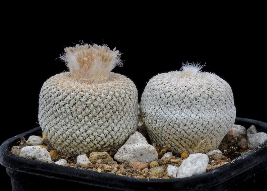 Epithelantha sind niedliche Kakteen.