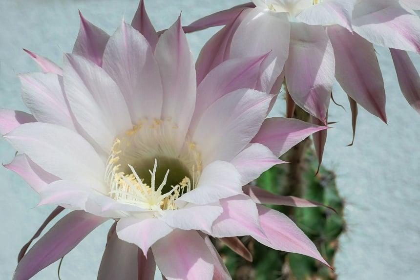 Der Kaktus Königin der Nacht.