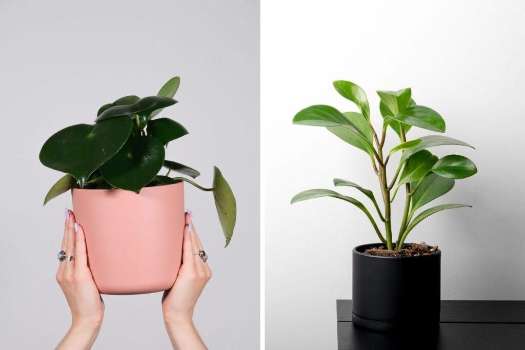 Peperomien brauchen spezielle Orchideenerde.