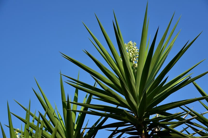 Yucca Palmen haben Heilkräfte.